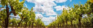 Les vinyes de la comarca de la DO Binissalem mostren el color ver de les fulles i el raïm en plena maduració