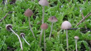 L'espècie de fong localitzada per primera vegada al Parc Natural del Montgrí, imatge cedida pels investigadors