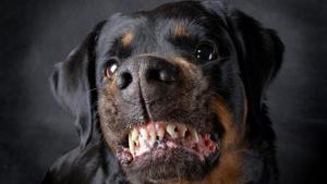 Perro de raza rottweiler.
