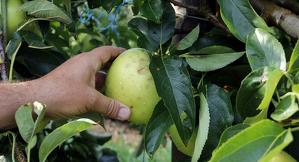 Pla mitjà on es pot veure una mà agafant una poma danyada