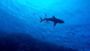 Taurons nedant a l'oceà