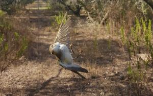 Un dels ocells protegits atrapat a una de les xarxes japoneses.