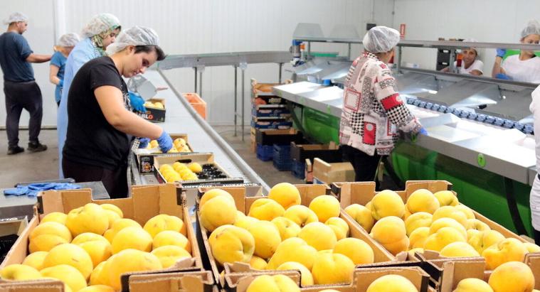 Imatge de préssecs en una central fructícola del municipi de Seròs