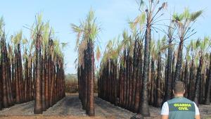 Algunes de les palmeres afectades pels incendis