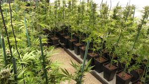 Enxampen un home amb 400 plantes de marihuana al Gironès