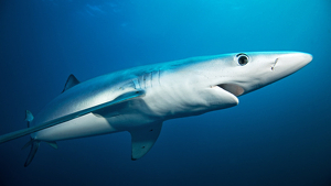 Imagen de una tintorera o tiburón azul