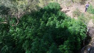 Imatge de diverses plantes de marihuana localitzades al municipi del Pinell de Brai