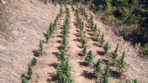 Imatge de la plantació de marihuana intervinguda a Capafonts