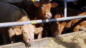 Imatge de les vaques de la granja de Ricard Godia