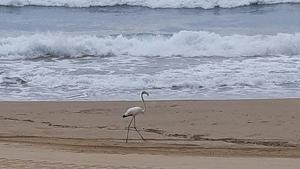 Imatge del flamenc aquest matí de dimarts, 10 de setembre, a la platja del Miracle de Tarragona.