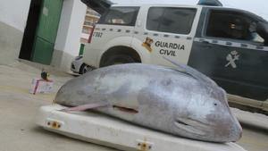 Imatge d'un dels exemplars de tonyina interceptats per la Guàrdia Civil
