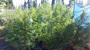 Imatges de la plantació marihuana Figueres