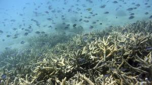 L'escull de corall es troba en una situació greu arran de l'augment de la temperatura del mar