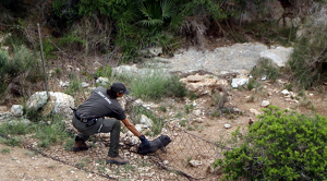 Un agent rural capturant a un dels porcs vietnamites de la colònia de la Muntanyeta.