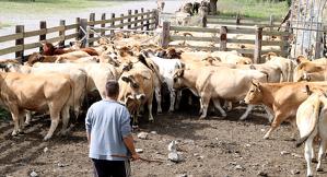 Un ramader amb les vaques que ha baixat de la muntanya de Llessui