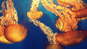Un tsunami de agua extremadamente cálida amenaza la vida marina del Pacífico