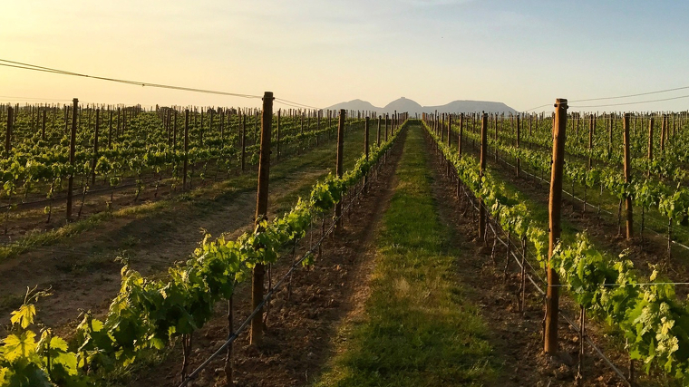 Vinyes de Mas Geli amb el Montgrí al fons