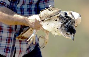 A l'àguila cuabarrada se li ha col·locat un GPS