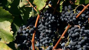 Detall de diversos raïms de garnatxa negra en unes vinyes de coster de Porrera, al Priorat.