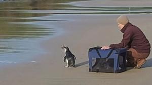 Imatge del moment de retorn de l'animal a la platja