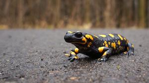 Imatge d'una salamandra