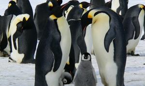 Los pingüinos emperadores pueden perder más de la mitad de su población