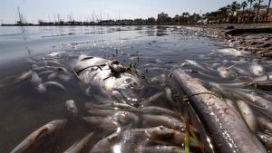 Miles de peces muertos en el mar Menor