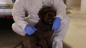 Muere Marley, el perro de la Guardia Civil que buscó a Diana Quer, Laura Luelmo, y Gabriel Cruz.