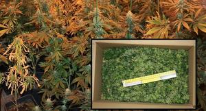 Pla de detall de les plantes de marihuana decomissades per la Guàrdia Civil