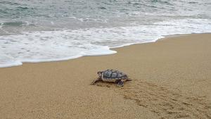 Pla general de l'alliberament de la tortuga careta aquest dijous a la platja de Premià de Mar