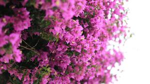 Planta de exterior: buganvilla.