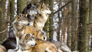 Una manada de lobos: en la península se calcula que viven 2.500 ejemplares