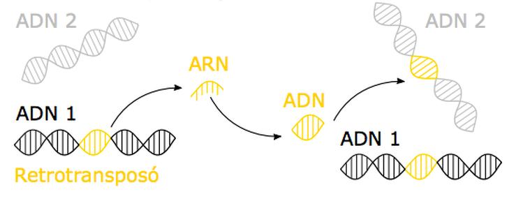 Copiar-enganxar transposons
