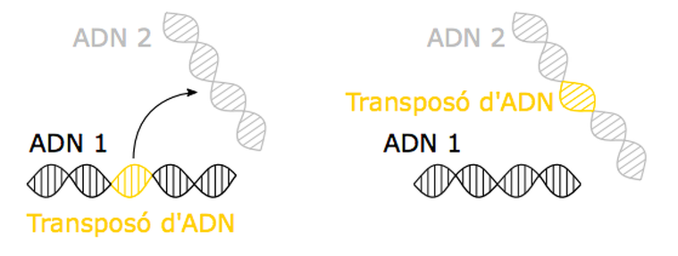 El mecanisme 'retallar-enganxar' d'un transposó