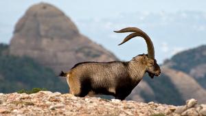Actualment es considera que al massís del Montgrí hi viuen entre 175 i 200 cabres salvatges