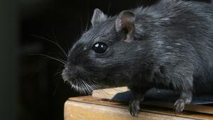 Alertan de que la rata negra, 'Rattus rattus', ha llegado a MAdrid