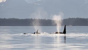 Avistadas por primera vez un grupo de orcas frente la costa murciana