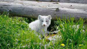 Ejemplar joven de zorro ártico