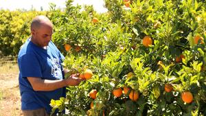El citricultor Carlos Roig revisant taronges encara per collir en una finca del terme de Vinaròs