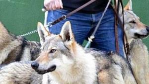 El titular del perro paseaba con tres perros momento en el cual uno de ellos mordió al niño de doce años