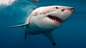 Imagen de un ejemplar de tiburón blanco