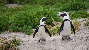 Imagen de una pareja de pingüinos de EL Cabo o africanos