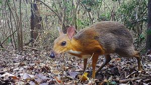 Imatge d'un exemplar de cérvol ratolí