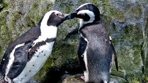 Imatge il·lustrativa d'una parella de pingüins