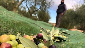 La campanya de la recollida d'olives de 2019 es preveu similar a la dels anys anteriors