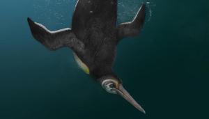 Reproducció de l'espècie de pingüí prehistòric descoberta recentment
