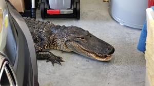 Imagen de un cocodrilo en un garaje de Florida (EEUU)