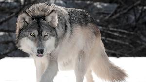 Imagen de un ejemplar de lobo