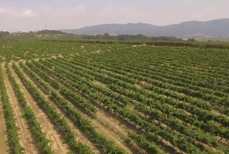 Les vinyes de Can Prats de Vins El Cep