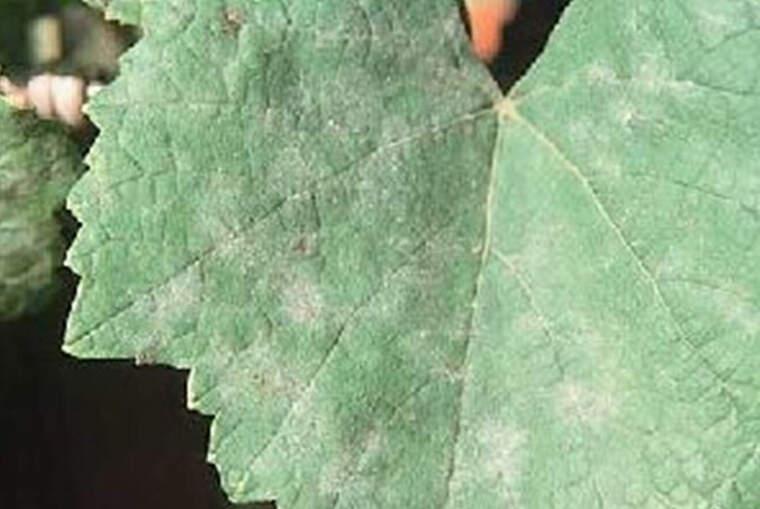 El miceli del fong s'estén sobre la fulla amb l'aspecte de cendra